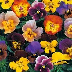Angel Jester Mix Viola - Annual Flower Seeds Swallowtail Garden Seeds