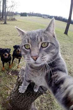 Cat Takes Selfies Himself That Include His Pack Of Dogs! The fine-lооking feline named Manny has been dubbed «Selfie Cat Animals And Pets, Baby Animals, Funny Animals, Cute Animals, Wild Animals, Kittens Cutest, Cats And Kittens, Cute Cats, F2 Savannah Cat