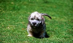 Dandie Dinmont Terrier Breed Information Terrier Breeds, Dog Breeds, Dandie Dinmont Terrier, Unusual Names, Little Critter, Otters, Puppies, Health Problems, Pets