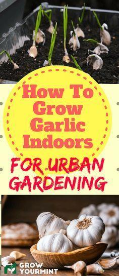 How to grow garlic indoors for urban garrdening #gardens#garlic#growyourmint