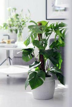 Beautiful Fensterblatt oder Monstera Deliciosa perfekte Badpflanze ohne gr nen Daumer pflegeleicht sch ne gr ne Bl tter widerstandsf hig