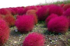 Plant some ornamental Kochia Scoparia grass. Plant some ornamental Kochia Scoparia grass. It's a a hardy and drought-tolerant foliage plant that germinates super fast. They start out green but turn a pretty red color once it starts to get colder. Cactus Y Suculentas, Foliage Plants, My Secret Garden, Ornamental Grasses, Dream Garden, Lawn And Garden, Garden Grass, Side Garden, Garden Projects