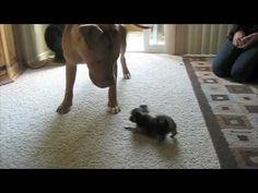 DOG FIGHT! Pitbull vs Chihuahua vs Cat  And they say Pitbulls are vicious