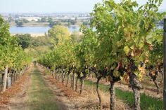 Vignes Ackerman à Saumur © Ackerman