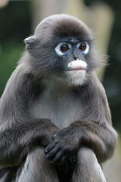 Brillangoer (Trachypithecus obscurus) Burgers' Zoo, Arnhem, The Netherlands Conservation status: Near threatened Fun Facts About Animals, Animal Facts, Taiping, Animals And Pets, Funny Animals, Cute Animals, Wild Animals, Primates, Mammals