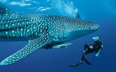 Rekin wielorybi rhinocodon typus