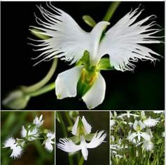 200pcs japanese egret flowers seeds white egret orchid seeds radiata white egret flower fringed orchid habenaria radiata native to asia and blooms only during pentecost mightylinksfo Image collections