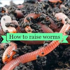 How to raise Red Worms – Homesteading Guide Worm Beds, Red Wigglers, Red Worms, Farm Business, Garden Compost, Worm Farm, Worm Composting, Earthworms, Raising Chickens