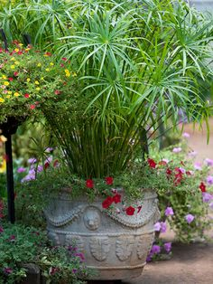 Get a similar look by mixing papyrus (Cyperus 'King Tut') with lovely splash of colour from mounding/spreading Petunia 'Red Dream'.