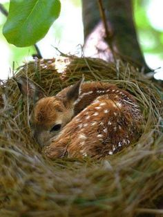 A baby deer finds warmth in a bird's nest.