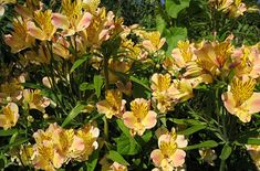 Alstroemeria - Floriferous Garden - Find your Horticultural Society and learn everything about Flowers and Gardening Flowers Name List, Peruvian Lilies, Garden Oasis, Flower Photography, Private Garden, Container Plants, Dahlia, Friendship, Lily
