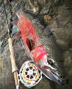 #hatchoutdoors #hatchreels  #finatic #sageflyfish  #sageflyrods #flyfishing #flyfish #flyfishingphotography #flyfishingjunkie #flyfishingaddict #flyfishingnation #patagoniaflyfishing #findyourwater #repyourwater #flylords #troutbum #troutporn #catchandrelease #keepemwet #riverfishing #sightfishing #streamerjunkie #rainbowtrout #wildtrout #backcountry #outdoorlife #woodsman #北海道 #フライフィッシング #虹鱒