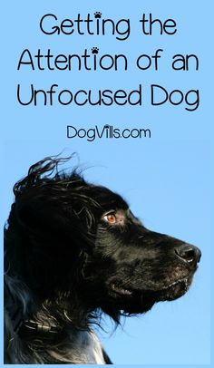 How do you get the attention of an unfocused dog? Training your dog to focus on you is easier than you might think. Check out our tips! training How Do I Get the Attention of an Unfocused Dog Training Your Puppy, Dog Training Tips, Potty Training, Training Classes, Agility Training, Brain Training, Obedience Training For Dogs, Training Videos, Training Equipment