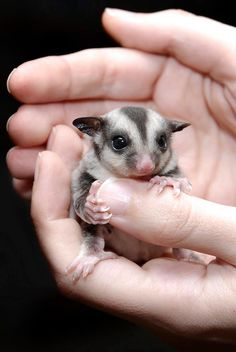 Instead of being a crazy cat lady, I'll probably have cages of random animals chilling everywhere. Like this little sugar glider!! I want one :D