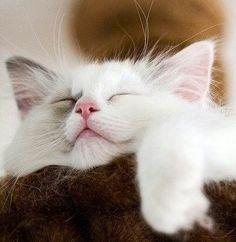 Adorable White Kitten Catching a Few Zzzzz.