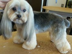 Example of clipped body, scissored legs and very long drop ears Dog Grooming Styles, Cat Grooming, Yorkie Hairstyles, Creative Grooming, Puppy Cut, Dog Haircuts, Dog Grooming Business, Most Popular Dog Breeds, Dog Wedding