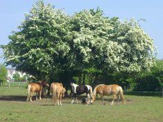 Freie Plätze in Offenstallhaltung in Schönberg  #stallfrei #stall #box #boxFrei #offenstall #reitstall #reiterhof #reitanlage #reiten #pferd #pferde #Allergikerstall #Reitschule #Reithalle #Paddock Paddock Trail, Stall Frei, Horse Stalls, Strand, Cow, Horses, Animals, Ideas, Trail Riding