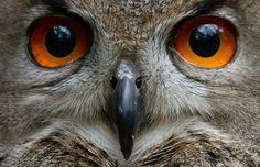 Eagle Owl Eyes~