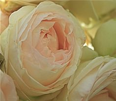 """June Bride"" Heirloom Rose"