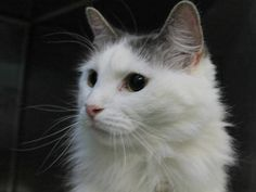9 year old Joy needs out of NYCACC NOW!!! TO BE DESTROYED 6/11/13 Manhattan Center  My name is JOY. My Animal ID # is A0967134. I am a spayed female white and gray domestic lh mix. The shelter thinks I am about 9 YEARS old.  I came in the shelter as a OWNER SUR on 06/01/2013 from NY 10039, owner surrender reason stated was PET HEALTH. I came in with Group/Litter #K13-139325.