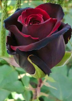 Rosa vermelha!