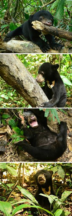 This young sun bear was rescued from life as a pet and introduced back into the wild where she belongs. She looks ecstatic as she explores her newfound freedom. The little bear can be seen biting at branches, exploring everything in sight and rolling around on the forest floor in sheer happiness. More photos when you click through. :)