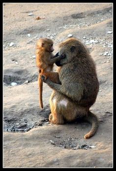 Sweet monkey and baby! Animals And Pets, Baby Animals, Funny Animals, Cute Animals, Primates, Mammals, Beautiful Creatures, Animals Beautiful, Monkey World