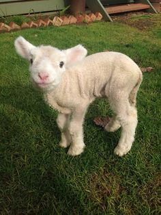cute baby lamb-Mama rejected him, but it can't be because of his looks since he's way TOO CUTE! Baby Sheep, Sheep And Lamb, Cute Baby Animals, Animals And Pets, Funny Animals, Farm Animals, Animal Pictures, Cute Pictures, Cute Lamb