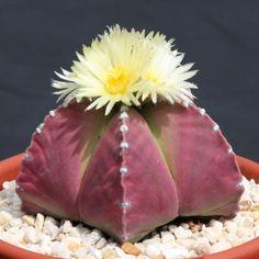 Astrophytum PURPLE nudun, @J@ rare cactus seed 10 SEEDS