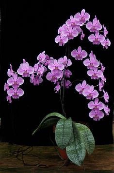 Phal. schilleriana var. purpurea - Orchid Forum by The Orchid Source