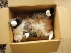 Maru sprawls in a box