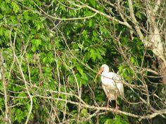 Bird Photos, Birding Sites, Bird Information: WHITE IBIS, LAKE TRAFFORD, IMMOKALEE, FL