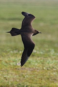Great skua in flight over field in Iceland – Enjoy the pure nature of Iceland's iconic Ring Road, one of Europe's wonderfully scenic drives.   – Image by Dr. Joseph T. McGinn -- Learn more about driving Iceland's Ring Road through article and slideshow at http://www.examiner.com/article/iceland-s-ring-road-holds-natural-wonder-and-creative-inspiration