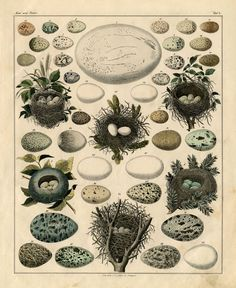 Free Natural History Printable. Love the Eggs and Nests! Graphics Fairy