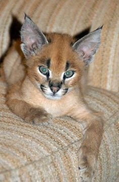 """""""Brandy for Breakfast - The Story of an African Caracal Cat"""" by Iris Hunt 