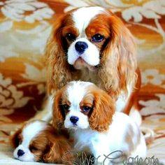 <3 Cavalier family