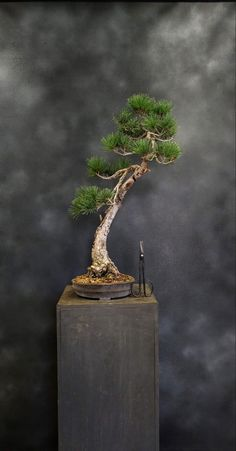 Bonsai Styles, Bonsai Garden, Fish Tanks, Natural Light, Trees, Culture, Landscape, Lifestyle, Mini