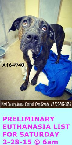 This DOG - ID#A164940 Status: STRAY WAIT INJURED FRONT PAW, JUST DRAGS IT AND WONT BEAR WEIGHT. DOES NOT SEEM TO BE PAINFUL - OLD INJURY? Very sweet. Broken right front foot, does not put weight on it. Due Out Date: 02/10/2015 I am a male, brown brindle Labrador Retriever mix.. https://www.facebook.com/savepinalanimals/photos/a.358530097582604.1073741831.120830141352602/596247133810898/?type=3&theater