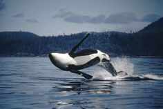 Orca (Orcinus orca) breaching, southeast Alaska by Flip Nicklen