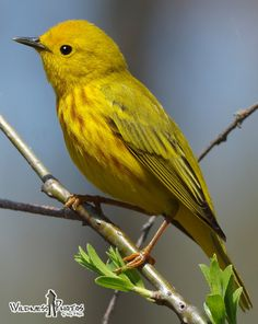 Yellow Warbler 5