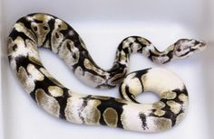 Paradox Pied Ball Python I love to see the different gorgeous forms that paradox takes. Pretty Snakes, Cool Snakes, Beautiful Snakes, Animals Beautiful, Beautiful Creatures, Serpent Animal, Python Snake, Ball Python Morphs, Pets
