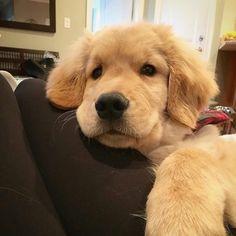 Adorable golden retriever pup (Photo by @goldenretriever_lilly)