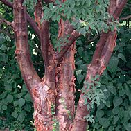 Paperbark maple  Latin name: Acer griseum  Zone 4-8