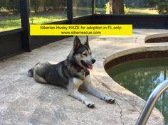 #Florida #Siberian #Huskies for #adoption! Apply to #adopt: http://www.siberrescue.com/