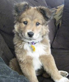 German shepherd/Collie Mix. Adorable. :)