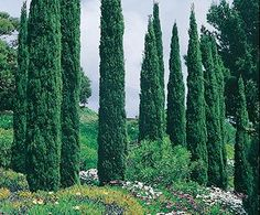 1000 Images About Trees Plants On Pinterest Olive Tree Palm Trees And Deserts