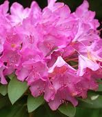 Shade Loving Plants. Rhododendrons.  White or red?
