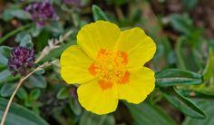 Helianthemum nummularium Flores y Paisajes de Asturias : Helianthemum nummularium