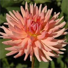 Dahlia 'Heather Marie': semi-cactus