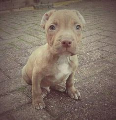 Red Nose Pitbull Puppy Little Puppies Cute Dogs And